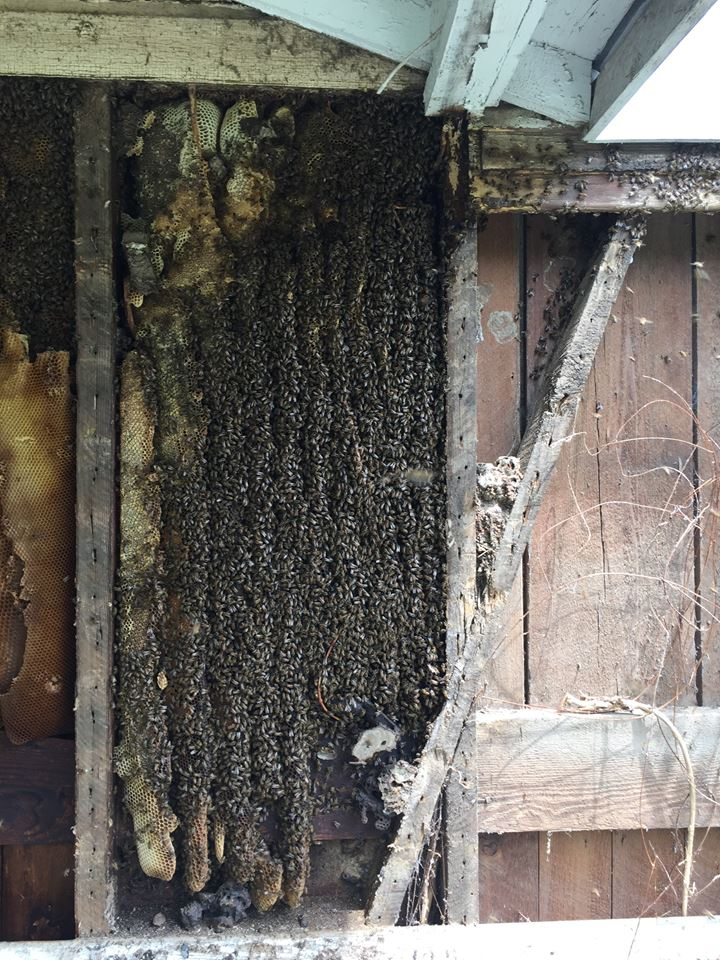 Bee Free – Bee Removal & Beekeeping Service